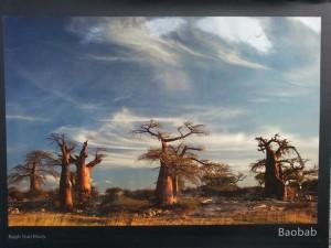 Stutchbury, Baobab, Simbabwe
